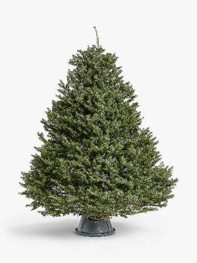 John Lewis & Partners Korean Fir Real Christmas Tree